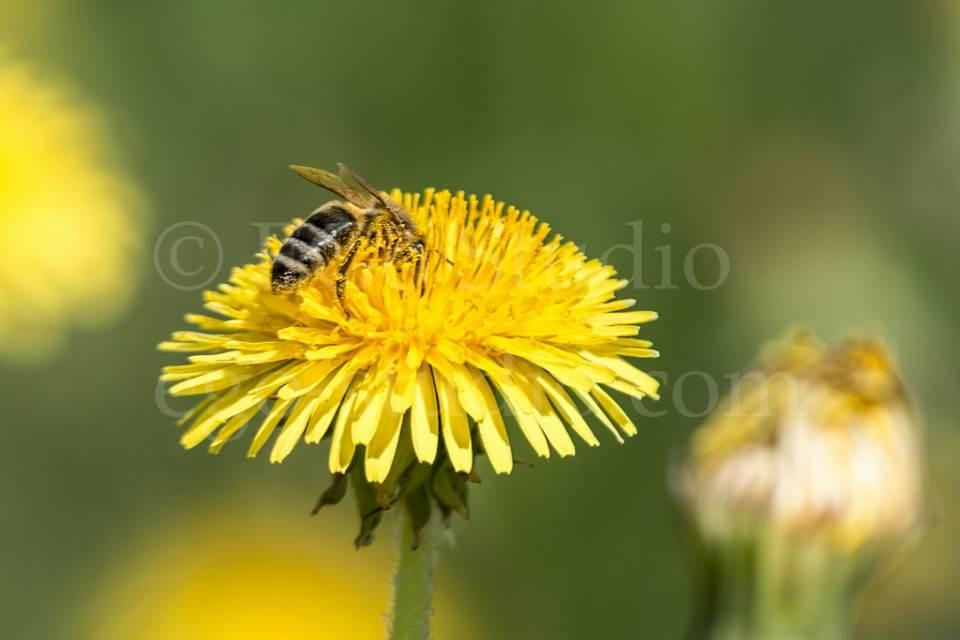 bee_on_the_yellow_dandelion.jpg