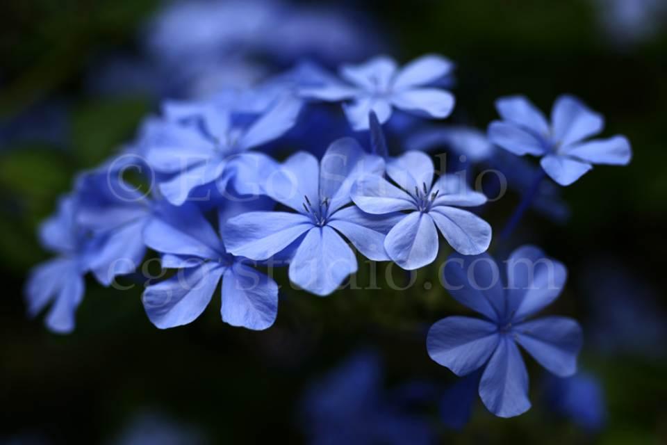 blue_flowers_shallow.jpg