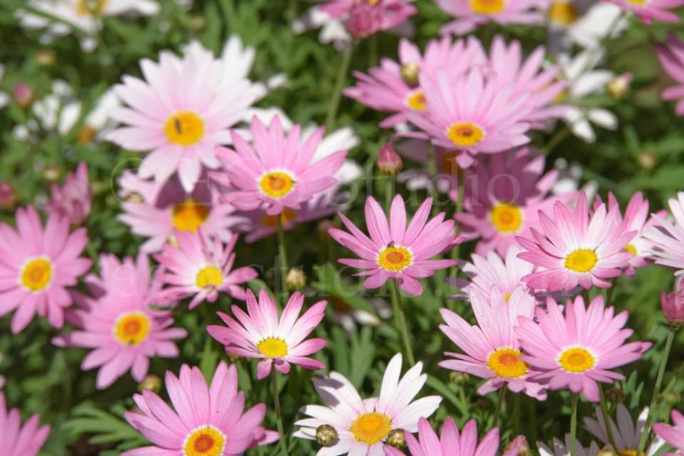 flowers_сhamomile_20130425_3386.jpg