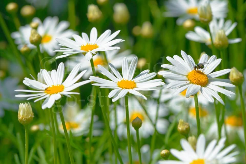flowers_сhamomile_20130425_3389.jpg