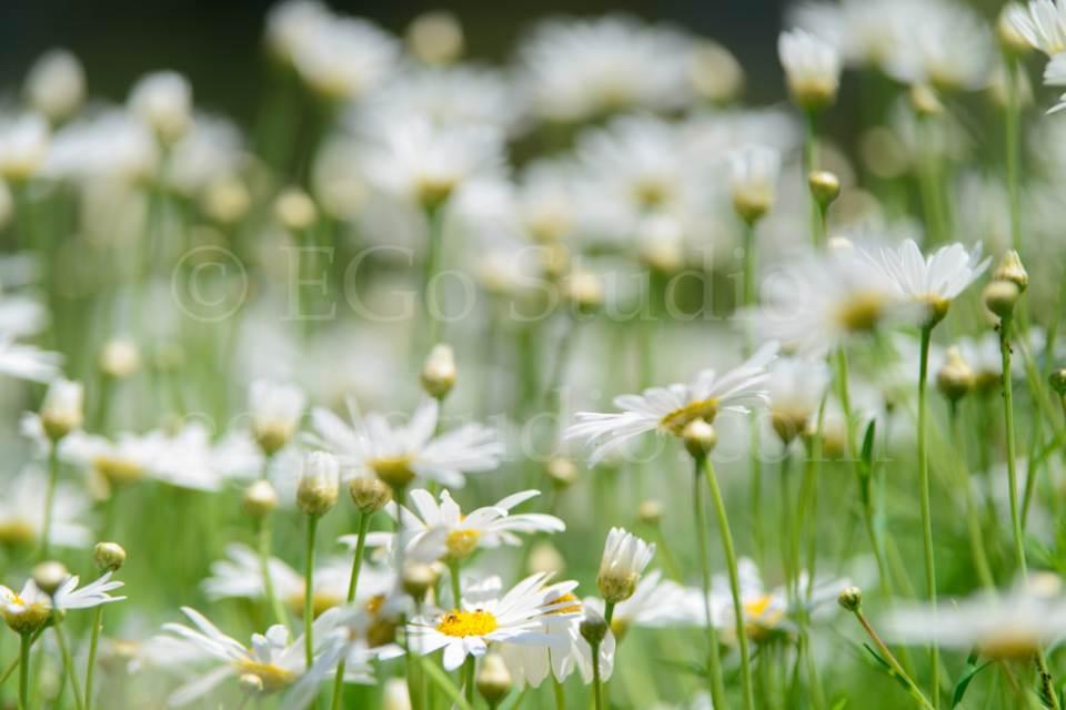flowers_сhamomile_20130425_3397.jpg