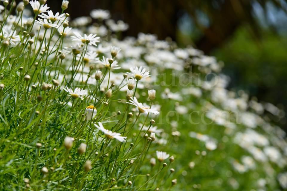 flowers_сhamomile_20130425_3399.jpg
