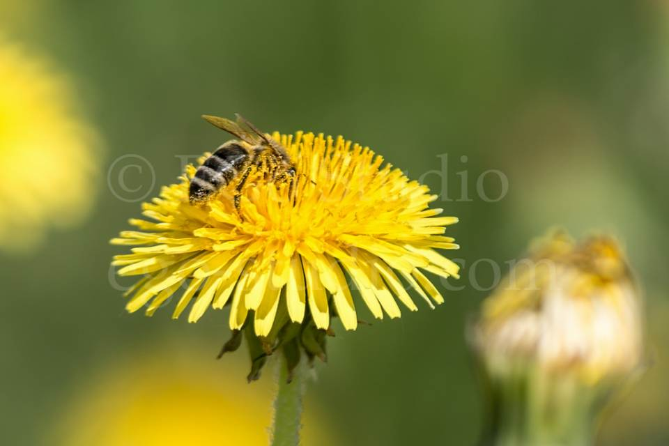 bee_on_the_yellow_dandelion.jpg