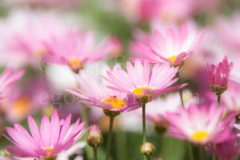 flowers_сhamomile_20130425_3385.jpg