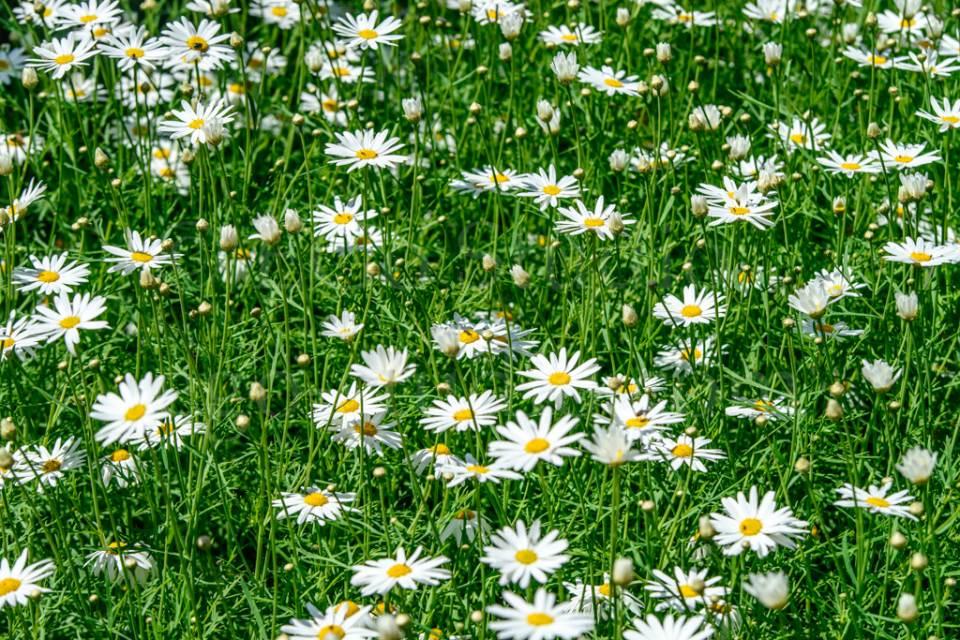 flowers_сhamomile_20130425_3388-2.jpg