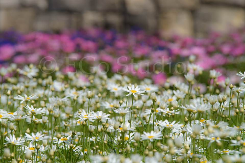 flowers_сhamomile_20130425_3392.jpg