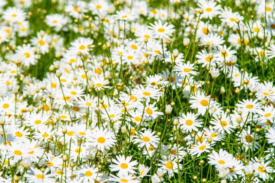 flowers_сhamomile_20130425_3408.jpg